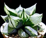Хавортия (Haworthia) 'Urahannya Mutated'
