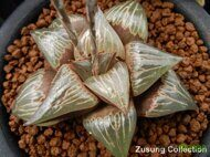 Хавортия (Haworthia) badia 'D-light'