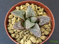 Хавортия (Haworthia) 'Blue Dragon'