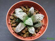 Хавортия (Haworthia) 'Green Field'