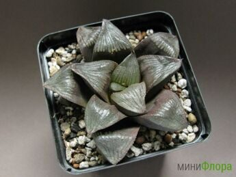 Хавортия (Haworthia) 'Matrix'