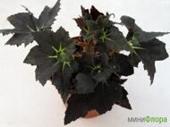 Бегония (Begonia) 'Black Fang'
