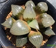 Хавортия (Haworthia) comptoniana 'Aboukyu'