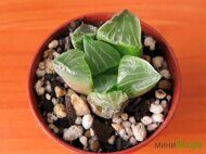 Хавортия (Haworthia) 'Lady Lay Kuen'