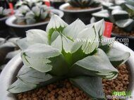 Хавортия (Haworthia) pygmaea 'Ice City' (Mutant) детка