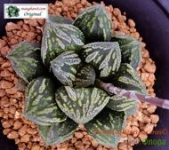 Хавортия (Haworthia) 'Splendid'