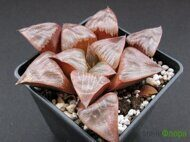 Хавортия (Haworthia) 'Ruby Star'
