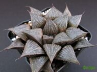 Хавортия (Haworthia) 'Dream Dancer Waltz'